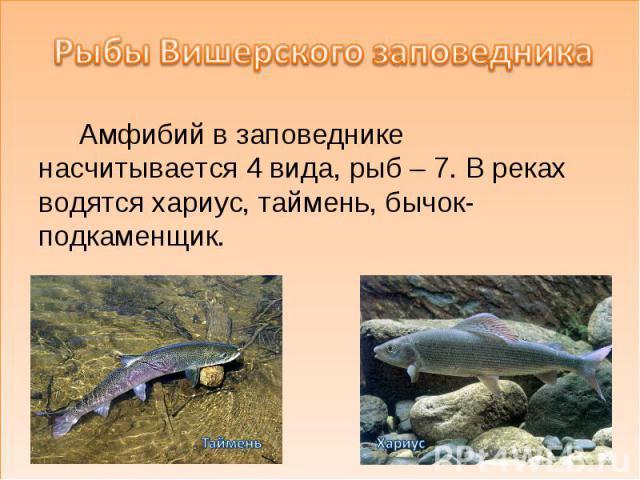 Рыбы Вишерского заповедника Амфибий в заповеднике насчитывается 4 вида, рыб – 7. В реках водятся хариус, таймень, бычок-подкаменщик.
