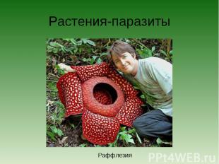 Растения-паразитыРаффлезия