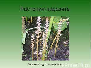 Растения-паразитыЗаразиха подсолнечниковая