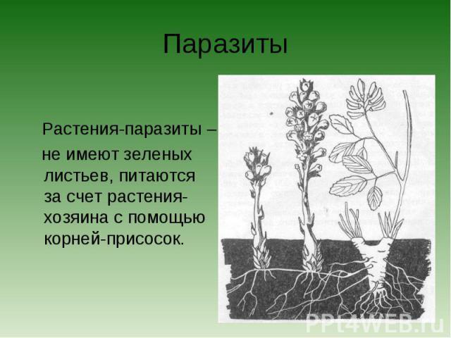 Паразиты Растения-паразиты – не имеют зеленых листьев, питаются за счет растения-хозяина с помощью корней-присосок.