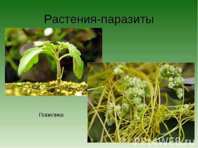Растения-паразитыПовилика
