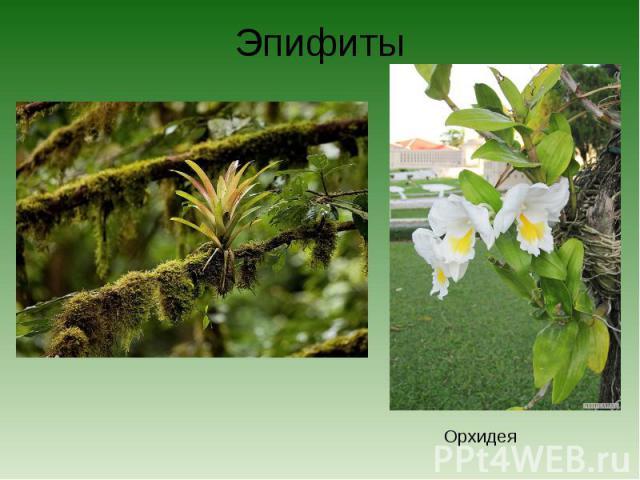 ЭпифитыОрхидея