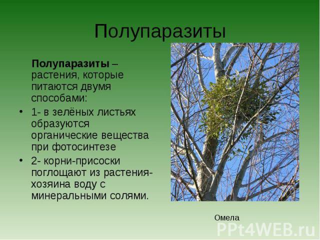 Полупаразиты Полупаразиты – растения, которые питаются двумя способами:1- в зелёных листьях образуются органические вещества при фотосинтезе2- корни-присоски поглощают из растения-хозяина воду с минеральными солями.