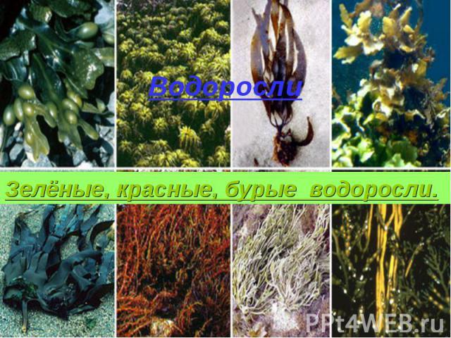 Водоросли Зелёные, красные, бурые водоросли.