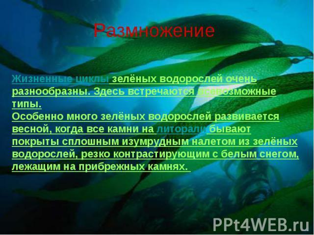 РазмножениеЖизненные циклы зелёных водорослей очень разнообразны. Здесь встречаются всевозможные типы.Особенно много зелёных водорослей развивается весной, когда все камни на литорали бывают покрыты сплошным изумрудным налетом из зелёных водорослей,…