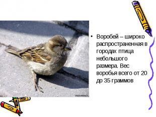 Воробей – широко распространенная в городах птица небольшого размера. Вес воробь