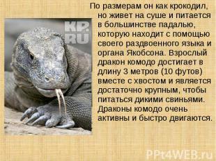 По размерам он как крокодил, но живет на суше и питается в большинстве падалью,
