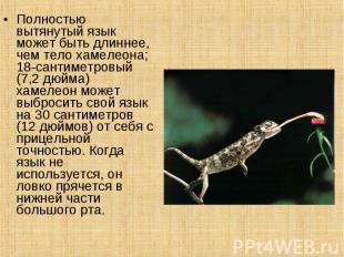 Полностью вытянутый язык может быть длиннее, чем тело хамелеона; 18-сантиметровы
