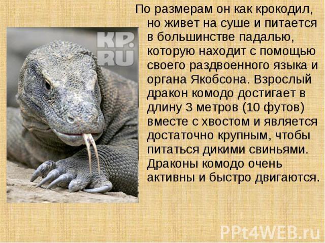 По размерам он как крокодил, но живет на суше и питается в большинстве падалью, которую находит с помощью своего раздвоенного языка и органа Якобсона. Взрослый дракон комодо достигает в длину 3 метров (10 футов) вместе с хвостом и является достаточн…