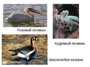 Розовый пеликанКудрявый пеликанКраснозобая казарка