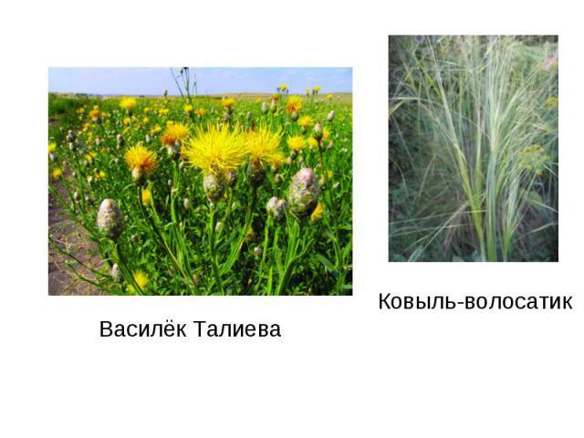 Василёк ТалиеваКовыль-волосатик
