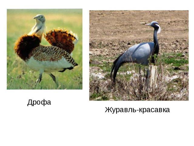 ДрофаЖуравль-красавка