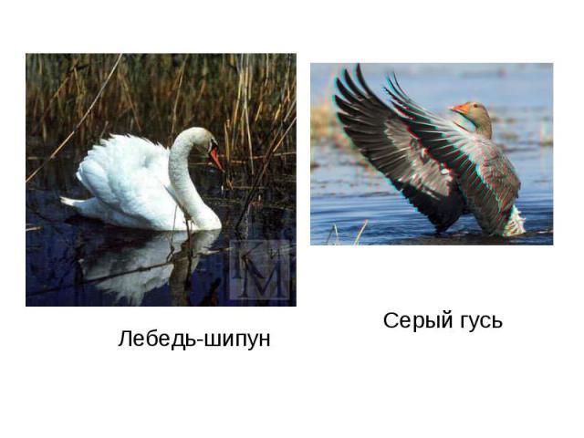 Лебедь-шипунСерый гусь