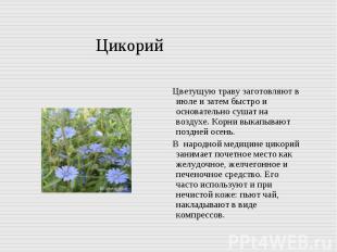 Цикорий Цветущую траву заготовляют в июле и затем быстро и основательно сушат на