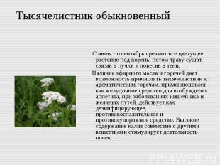 Тысячелистник обыкновенный С июня по сентябрь срезают все цветущее растение под