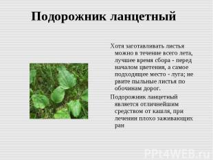 Подорожник ланцетный Хотя заготавливать листья можно в течение всего лета, лучше
