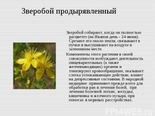 Зверобой продырявленный Зверобой собирают, когда он полностью расцветет (на Иван
