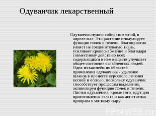 Одуванчик лекарственный Одуванчик нужно собирать весной, в апреле-мае. Это расте