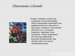Шиповник собачий Осенью собирают полностью созревшие плоды шиповника. Чай из шип