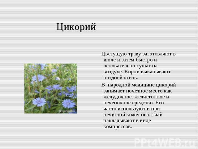 Цикорий Цветущую траву заготовляют в июле и затем быстро и основательно сушат на воздухе. Корни выкапывают поздней осень. В народной медицине цикорий занимает почетное место как желудочное, желчегонное и печеночное средство. Его часто используют и п…