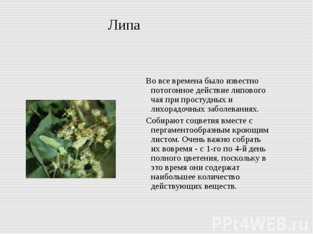 Липа Во все времена было известно потогонное действие липового чая при простудных и лихорадочных заболеваниях. Собирают соцветия вместе с пергаментообразным кроющим листом. Очень важно собрать их вовремя - с 1-го по 4-й день полного цветения, поскол…