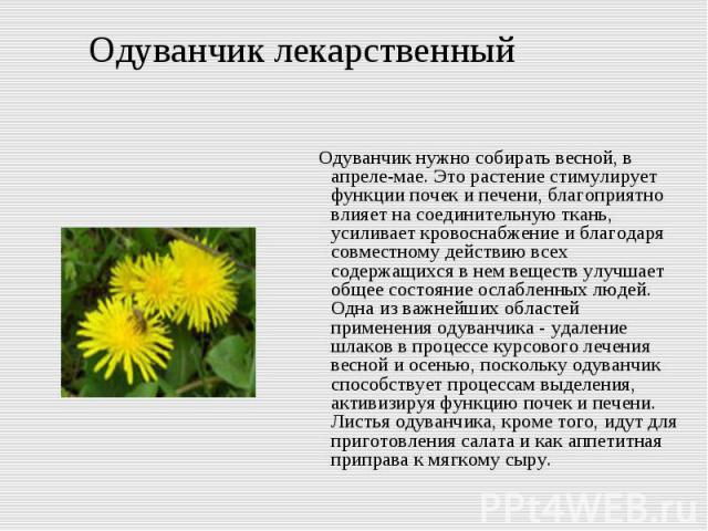 Одуванчик лекарственный Одуванчик нужно собирать весной, в апреле-мае. Это растение стимулирует функции почек и печени, благоприятно влияет на соединительную ткань, усиливает кровоснабжение и благодаря совместному действию всех содержащихся в нем ве…