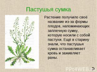 Пастушья сумкаРастение получило своё название из-за формы плодов, напоминающих з