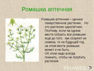 Ромашка аптечнаяРомашка аптечная – ценное лекарственное растение. Но это растени