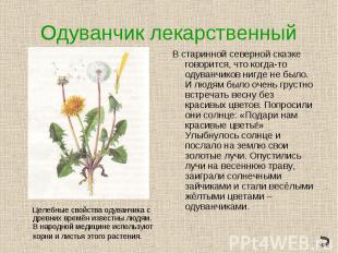 Одуванчик лекарственныйВ старинной северной сказке говорится, что когда-то одува