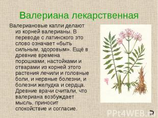 Валериана лекарственнаяВалериановые капли делают из корней валерианы. В переводе