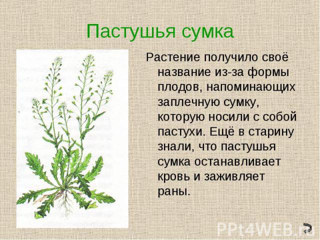 Пастушья сумкаРастение получило своё название из-за формы плодов, напоминающих заплечную сумку, которую носили с собой пастухи. Ещё в старину знали, что пастушья сумка останавливает кровь и заживляет раны.