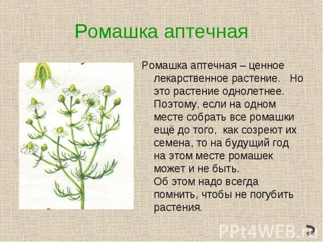 Ромашка аптечнаяРомашка аптечная – ценное лекарственное растение. Но это растение однолетнее. Поэтому, если на одном месте собрать все ромашки ещё до того, как созреют их семена, то на будущий год на этом месте ромашек может и не быть. Об этом надо …