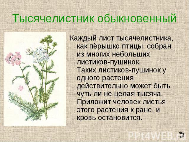 Тысячелистник обыкновенныйКаждый лист тысячелистника, как пёрышко птицы, собран из многих небольших листиков-пушинок. Таких листиков-пушинок у одного растения действительно может быть чуть ли не целая тысяча. Приложит человек листья этого растения к…