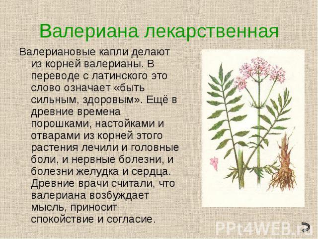 Валериана лекарственнаяВалериановые капли делают из корней валерианы. В переводе с латинского это слово означает «быть сильным, здоровым». Ещё в древние времена порошками, настойками и отварами из корней этого растения лечили и головные боли, и нерв…