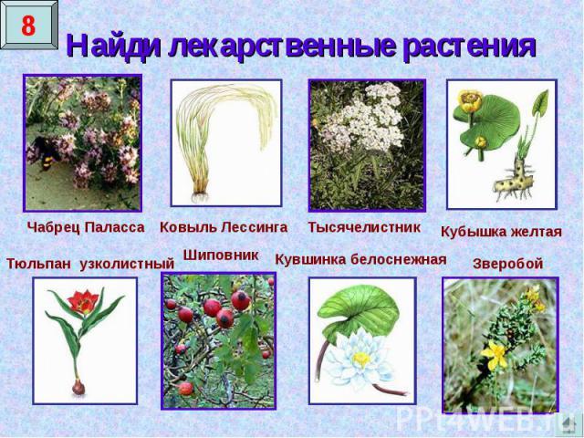Найди лекарственные растения Чабрец ПалассаКовыль ЛессингаТысячелистникКубышка желтаяТюльпан узколистныйШиповникКувшинка белоснежнаяЗверобой