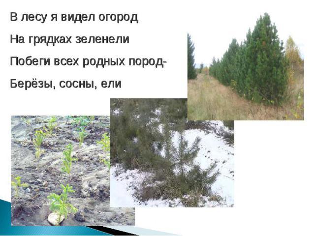 В лесу я видел огородНа грядках зеленелиПобеги всех родных пород-Берёзы, сосны, ели