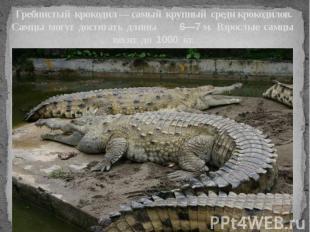 Гребнистый крокодил — самый крупный среди крокодилов. Самцы могут достигать длин