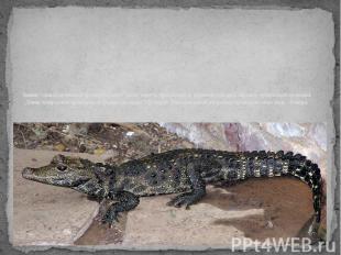 """Звание """"самый маленький крокодил в мире"""" носит житель пресноводных водоемов Запа"""