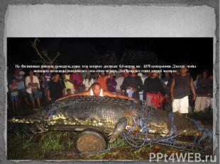 На Филиппинах поймали крокодила, длина тела которого достигает 6,4 метров, вес -