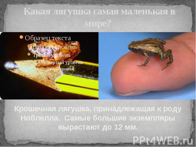Какая лягушка самая маленькая в мире? Крошечная лягушка, принадлежащая к роду Ноблелла. Самые большие экземпляры вырастают до 12 мм.