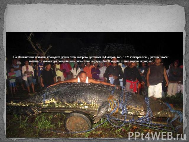 На Филиппинах поймали крокодила, длина тела которого достигает 6,4 метров, вес - 1075 килограммов. Для того, чтобы вытащить его из воды, понадобилась сила сотни человек. Этот крокодил станет звездой экопарка .