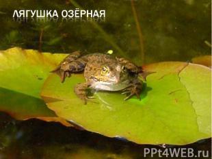 лягушка озёрная