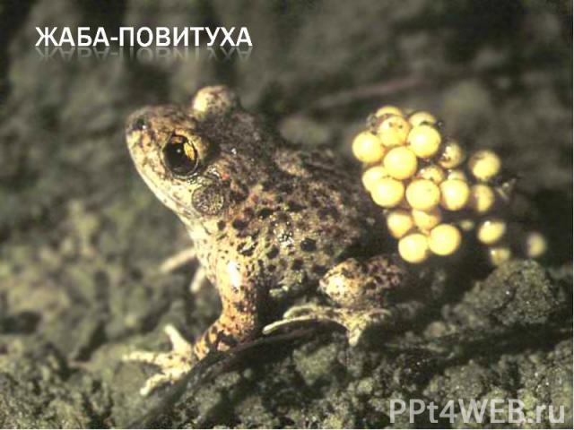 жаба-повитуха