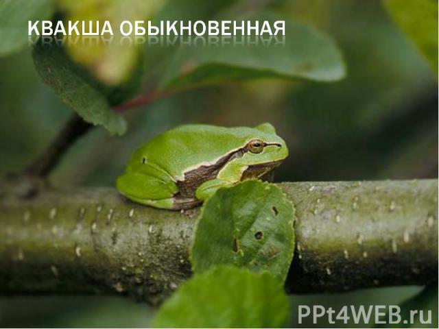 квакша обыкновенная