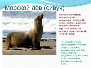 Морской лев (сивуч)В России численность сивучей в целом сократилась с 40-60 до 1