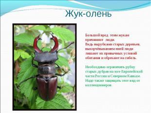 Жук-оленьБольшой вред этим жукам причиняют люди. Ведь вырубками старых деревьев,
