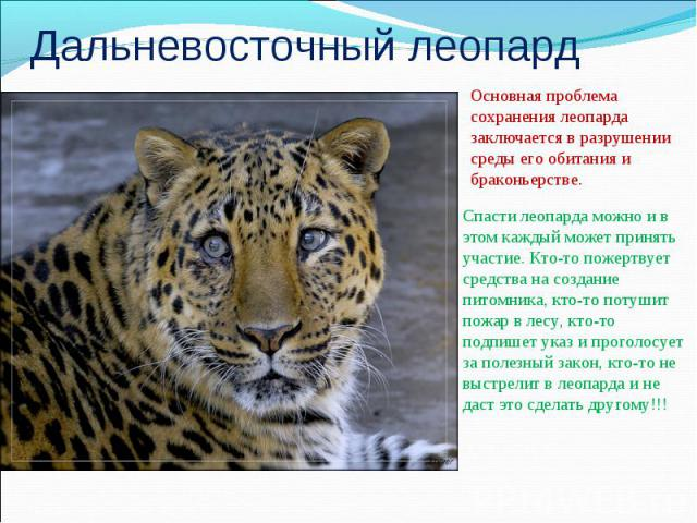 Дальневосточный леопардОсновная проблема сохранения леопарда заключается в разрушении среды его обитания и браконьерстве.Спасти леопарда можно и в этом каждый может принять участие. Кто-то пожертвует средства на создание питомника, кто-то потушит по…