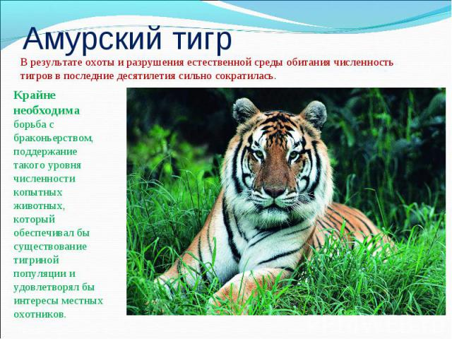 Амурский тигрВ результате охоты и разрушения естественной среды обитания численность тигров в последние десятилетия сильно сократилась.Крайне необходима борьба с браконьерством, поддержание такого уровня численности копытных животных, который обеспе…