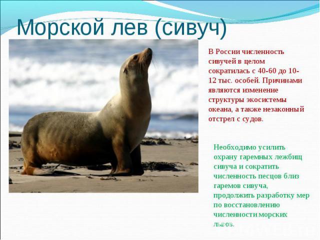 Морской лев (сивуч)В России численность сивучей в целом сократилась с 40-60 до 10-12 тыс. особей. Причинами являются изменение структуры экосистемы океана, а также незаконный отстрел с судов.Необходимо усилить охрану гаремных лежбищ сивуча и сократи…