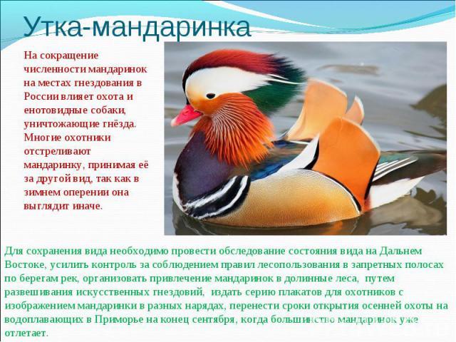 Утка-мандаринкаНа сокращение численности мандаринок на местах гнездования в России влияет охота и енотовидные собаки, уничтожающие гнёзда. Многие охотники отстреливают мандаринку, принимая её за другой вид, так как в зимнем оперении она выглядит ина…